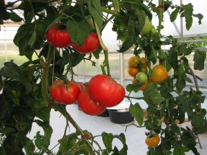tower tomatos