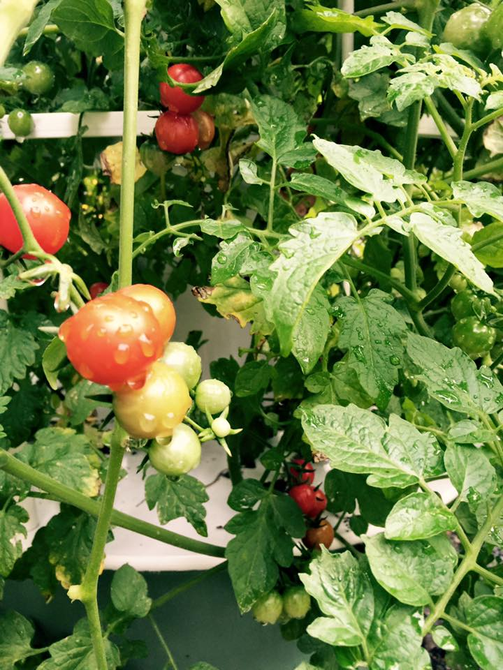 Hydroponic Heirloom Cherry Tomatoes - Dallas Urban Farms
