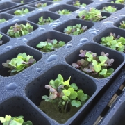 More Seedlings! - Dallas Urban Farms
