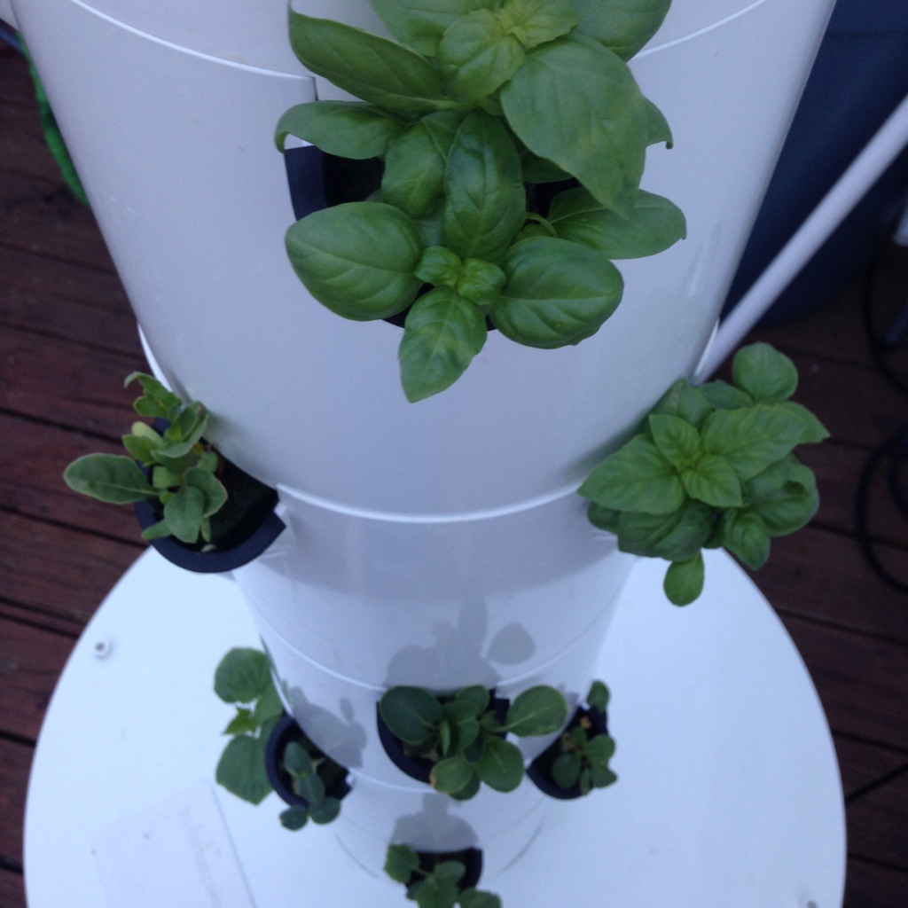 Baby Italian Basil - Dallas Urban Farms
