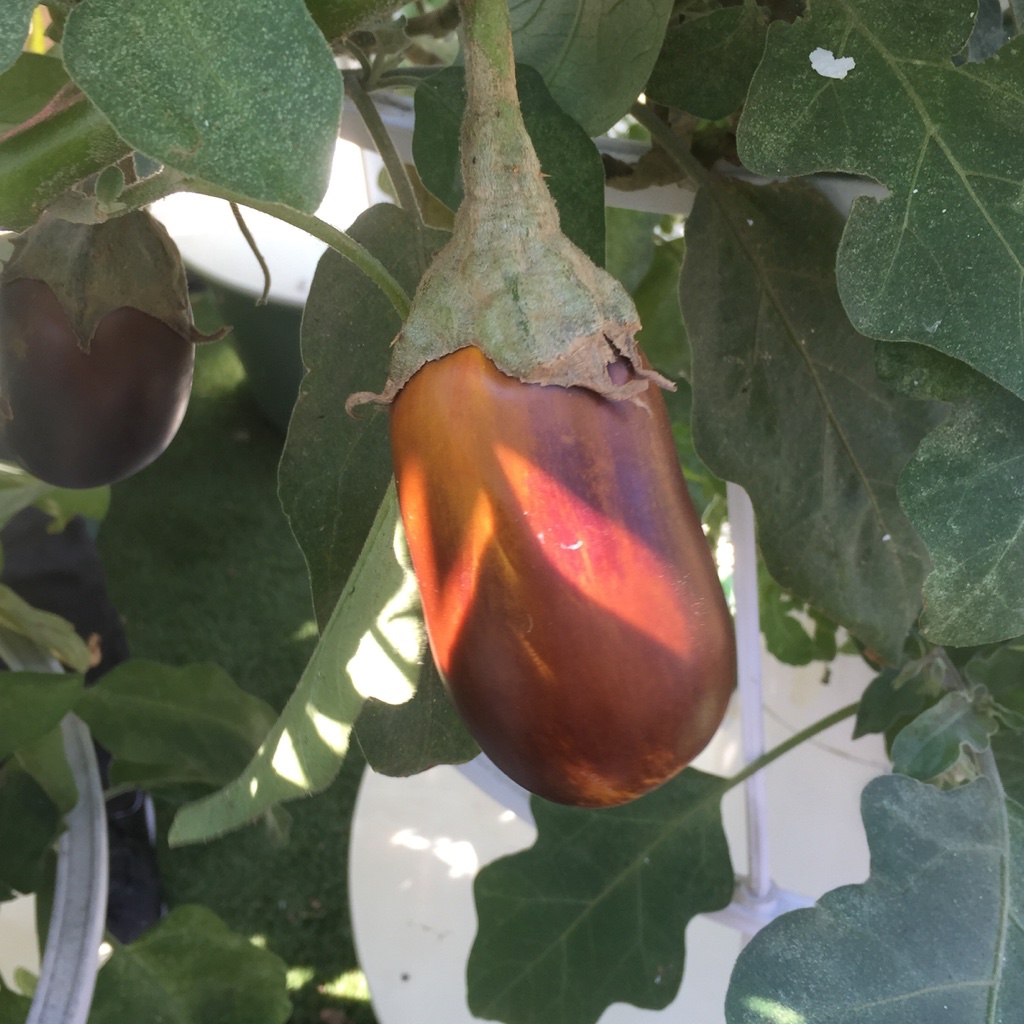 Vine-Ripened Heirloom Pepper - Dallas Urban Farms